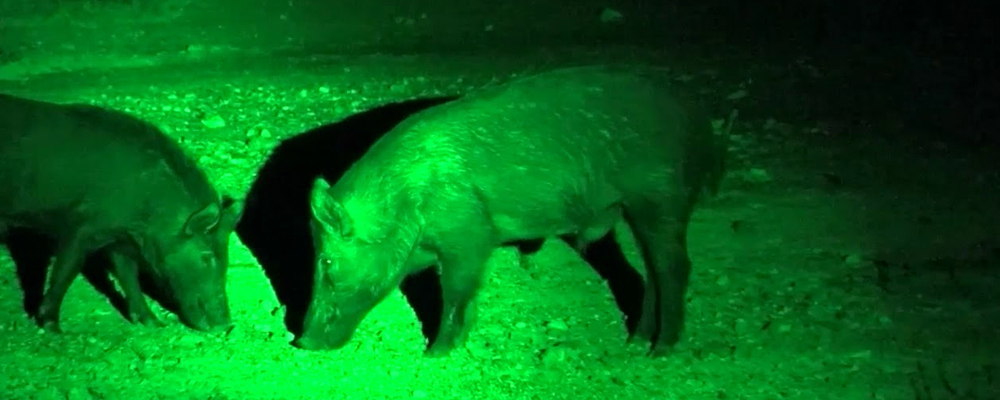 How to Hunt Hogs at Night