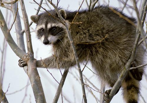 raccoons on tree